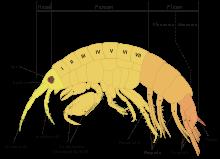 220px-scheme_amphipod_anatomy-en-svg